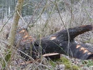Krokadil im Gebüsch am Ufer